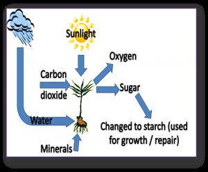 Academic IELTS Task 1 model answer 2 - How plants make food
